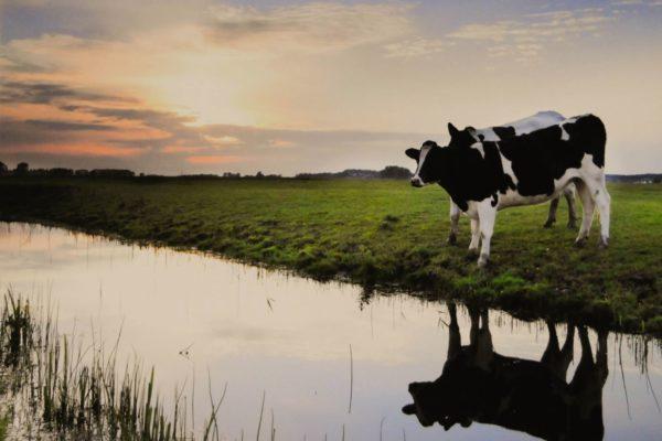 koeien aan de sloot